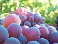 Τρύγος (Vine Harvest)